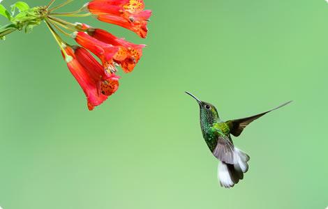 costarica kolibrie